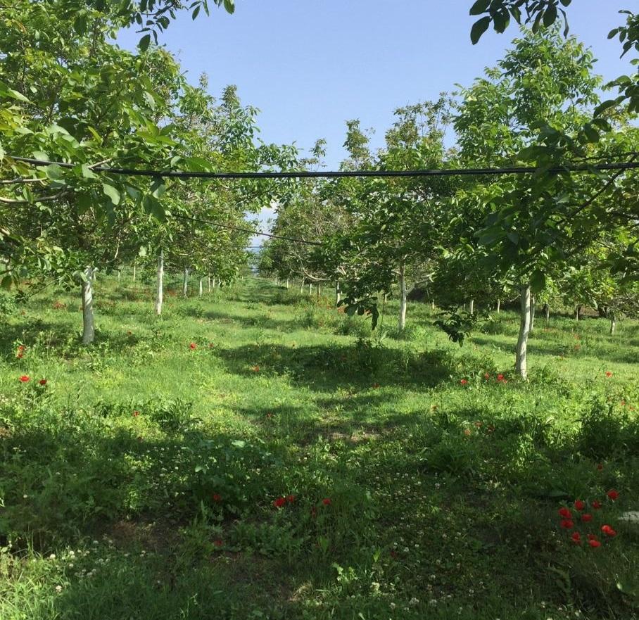 artemision walnut farm